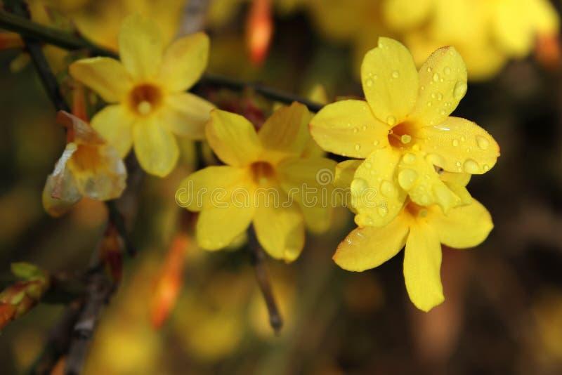 Download Jasmim de inverno ilustração stock. Ilustração de flores - 29849579