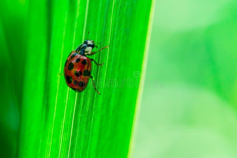 O joaninha anda acima em uma folha, Coccinellidae, artrópodes, coleópteros, Cucujiformia, Polyphaga imagens de stock royalty free
