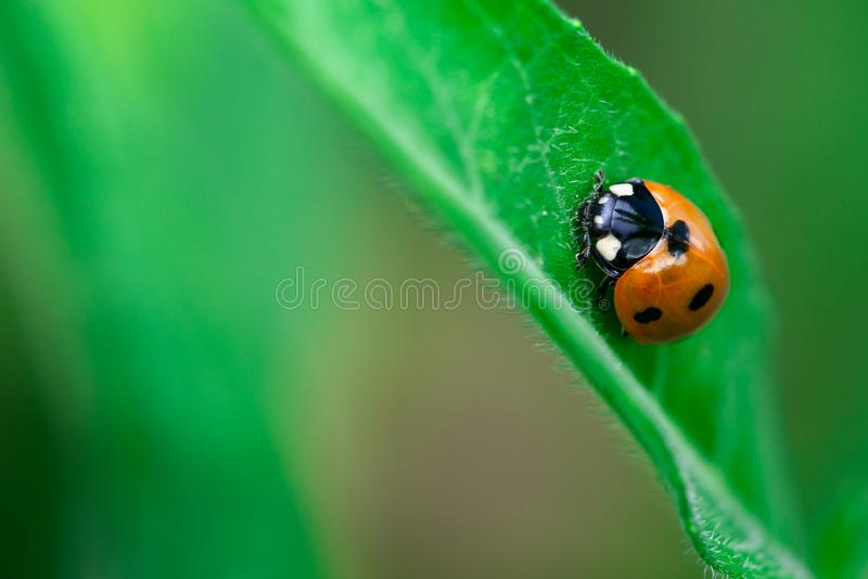 O joaninha anda acima na borda de uma folha, Coccinellidae, artrópodes, coleópteros, Cucujiformia, Polyphaga foto de stock royalty free