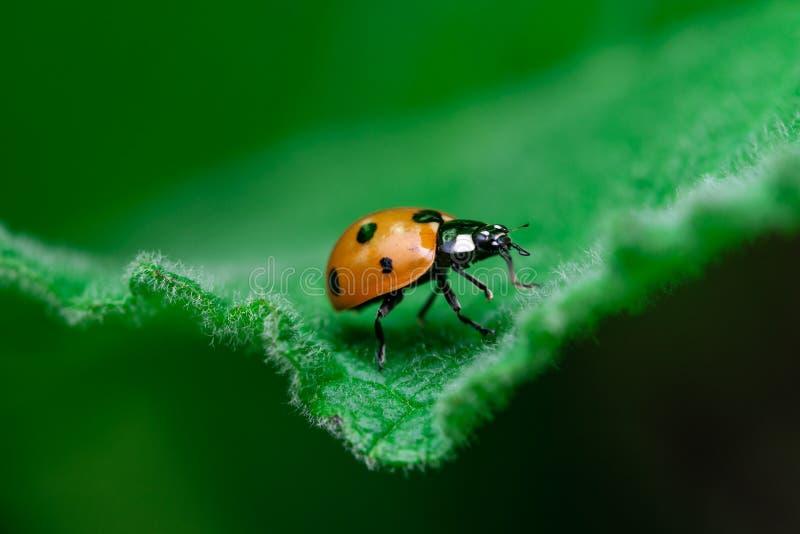 O joaninha anda na borda de uma folha, Coccinellidae, artrópodes, coleópteros, Cucujiformia, Polyphaga foto de stock