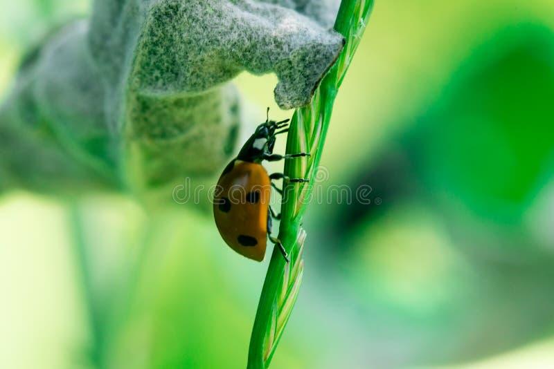O joaninha corre acima através da parte superior de uma folha, Coccinellidae, artrópodes, coleópteros, Cucujiformia, Polyphaga imagens de stock