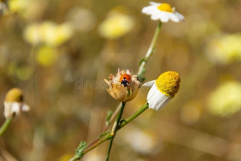 O joaninha em uma flor da margarida, mola está aqui foto de stock royalty free