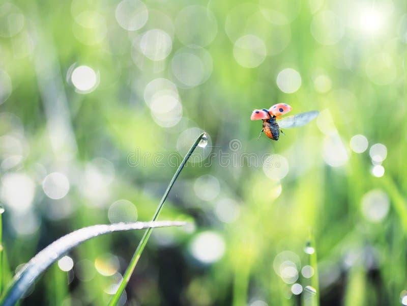 O joaninha pequeno voa sobre a grama verde coberta com o orvalho brilhante fotografia de stock royalty free