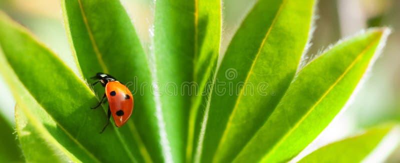 O joaninha vermelho na folha verde, joaninha rasteja na haste da planta na mola no verão do jardim fotografia de stock