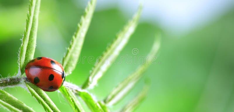 O joaninha vermelho na folha verde, joaninha rasteja na haste da planta na mola no verão do jardim foto de stock