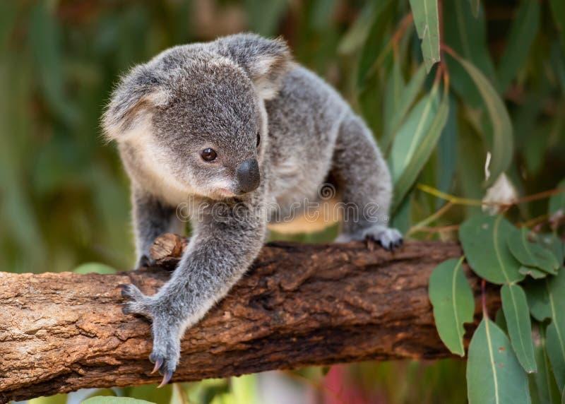 O joey da coala anda em um ramo de árvore imagens de stock
