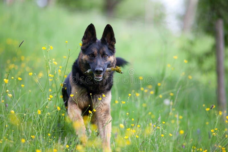 O jogo e o apport do pastor alemão do puro-sangue do cão preto ramificam no mea fotografia de stock royalty free