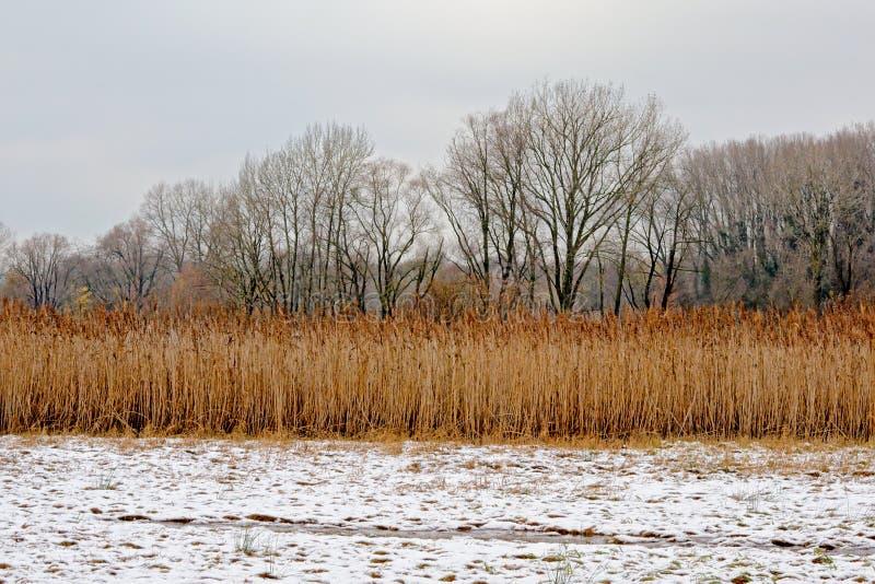 O junco dourado e as árvores desencapadas em uma neve ajardinam a reserva natural de Bourgoyen, Ghent, Bélgica imagem de stock royalty free