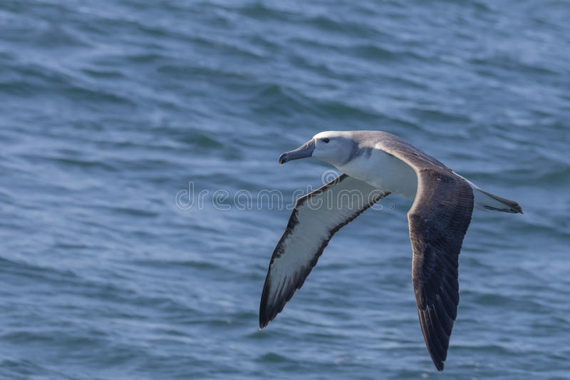 O juvenil Cinzento-dirigiu o albatroz imagem de stock