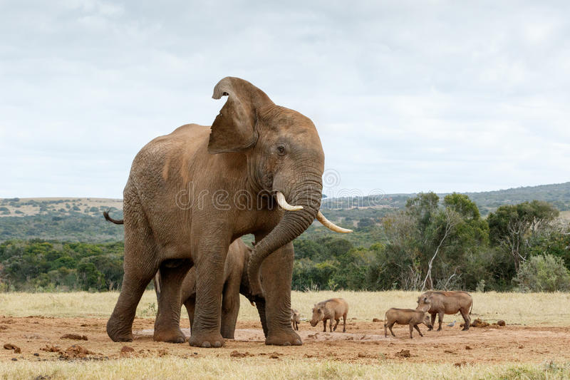 O.k. einde die foto's van de Afrikaanse Bush-Olifant nemen stock afbeeldingen
