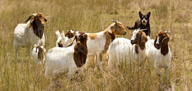 O kelpie australiano do cão de funcionamento agrupa cabras imagens de stock