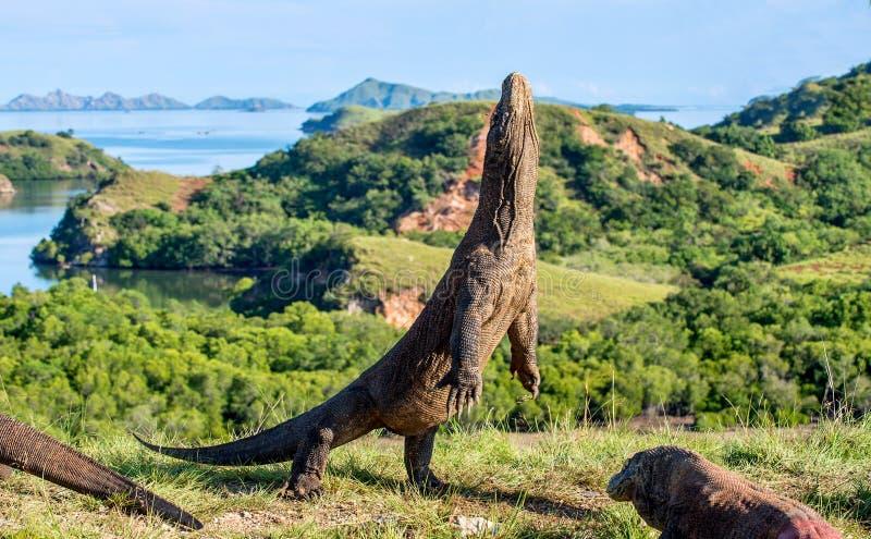 O komodoensis do Varanus do dragão de Komodo está em seus pés traseiros imagens de stock royalty free