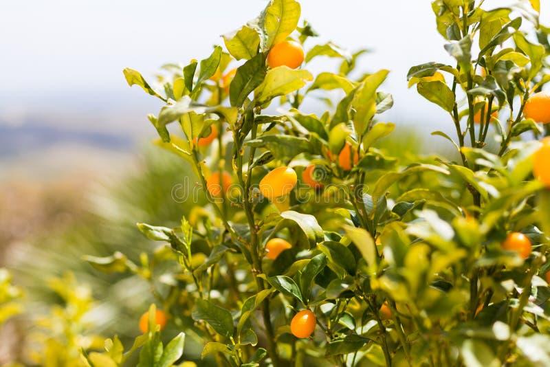 O Kumquat frutifica na árvore contra o fundo borrado foto de stock royalty free