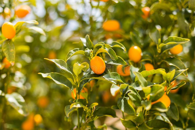 O Kumquat frutifica na árvore contra o fundo borrado foto de stock