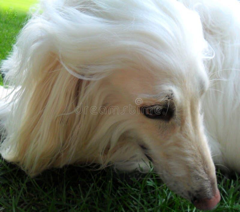 O lápis de olho da natureza no modelo canino de cabelo macio fotos de stock royalty free