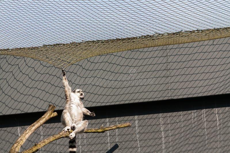 o lêmure Anel-atado cai quase do ramo fotos de stock