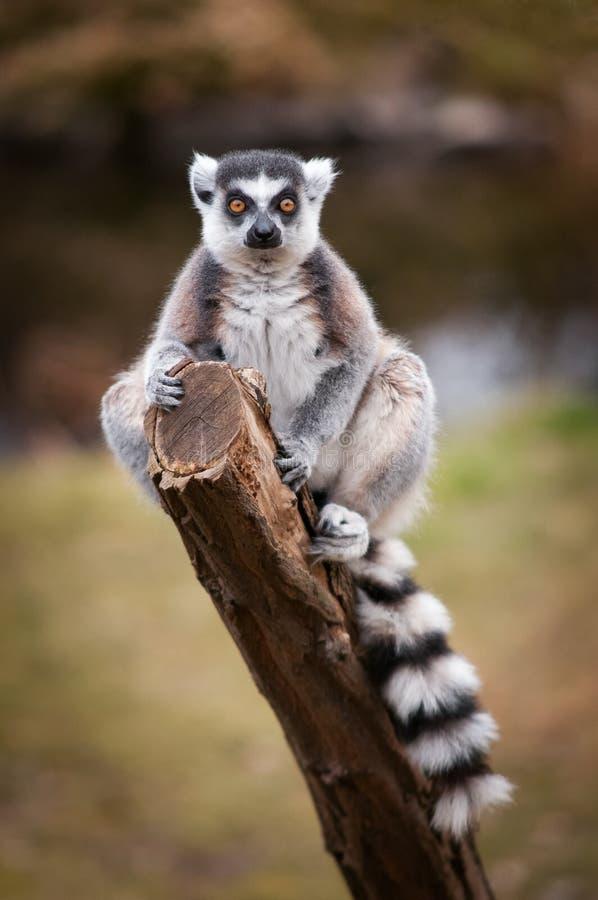 O lêmure anel-atado, catta do lêmure que senta-se em um ramo Retrato de um primata com por muito tempo, da cauda rodeado preto e  foto de stock royalty free