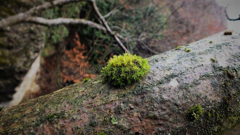 O líquene cresceu acima na árvore imagens de stock royalty free