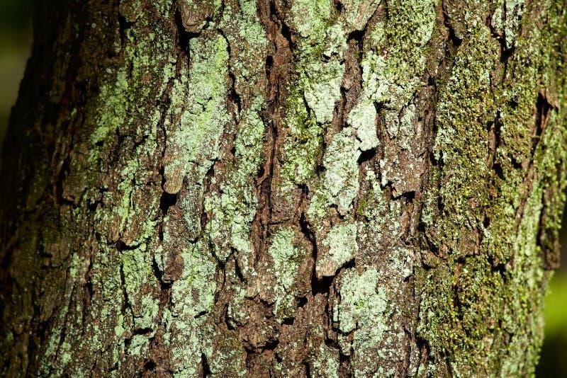 O líquene da árvore de laca foto de stock