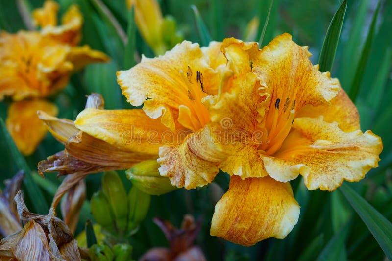 O lírio alaranjado bonito floresceu inteiramente fora no fim acima fotos de stock