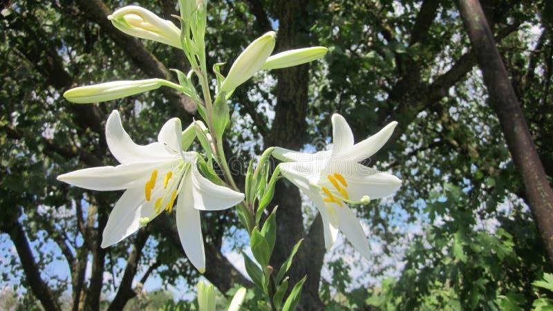 O lírio da flor imagem de stock royalty free