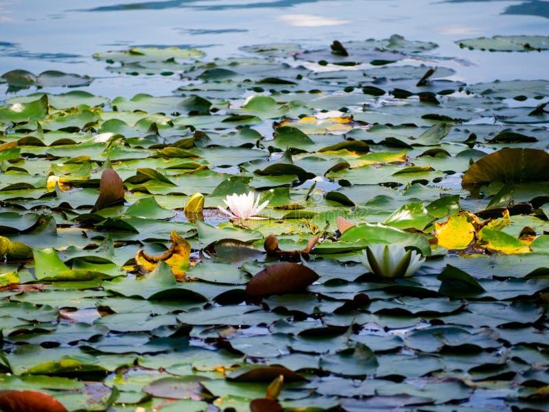 O lírio de água de florescência bonito, fecha-se acima da vista, na água do lago sangrada no Eslovênia fotos de stock
