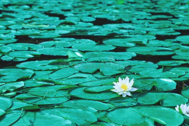 O lírio de água floresce as flores ou os lótus brancos que florescem na lagoa bea fotografia de stock