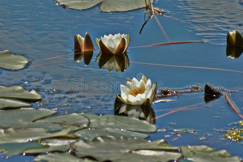 O lírio de água neve-branco no lago imagem de stock