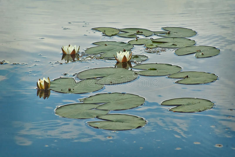 O lírio de água no lago Candida de Numphaea imagens de stock