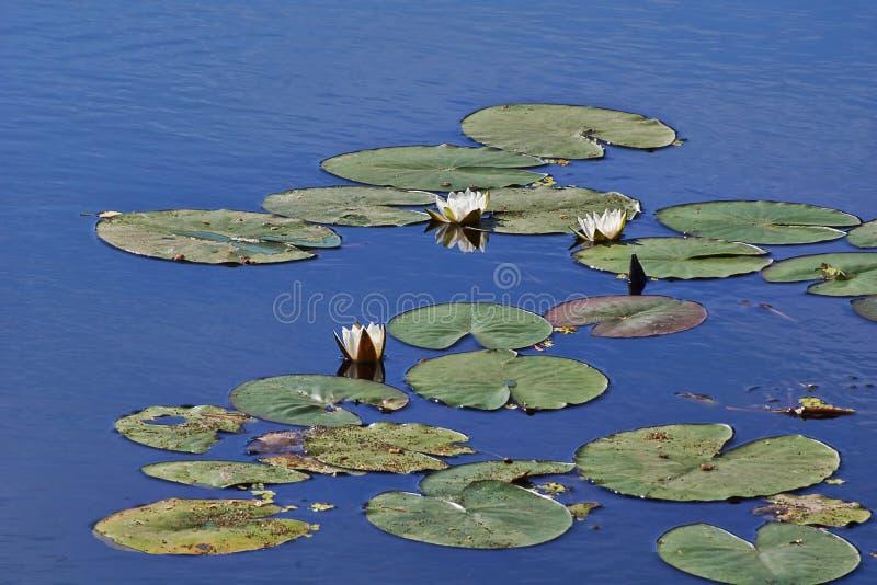 O lírio de água no lago Candida de Numphaea fotografia de stock royalty free