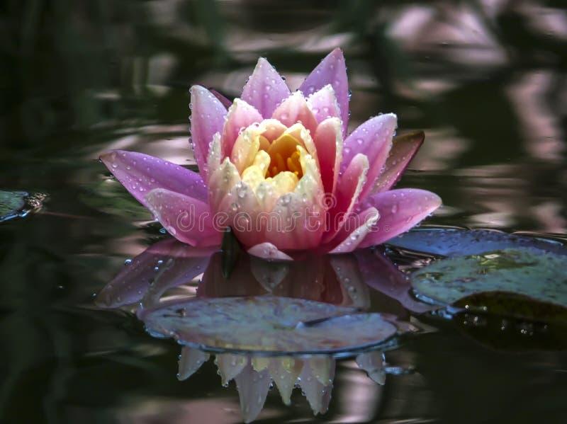O lírio de água ou a flor de lótus cor-de-rosa bonita com as pétalas delicadas com água deixam cair O por do sol alaranjado do `  foto de stock