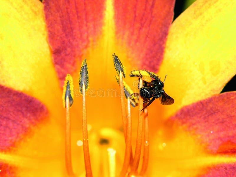O lírio e a abelha fotos de stock royalty free