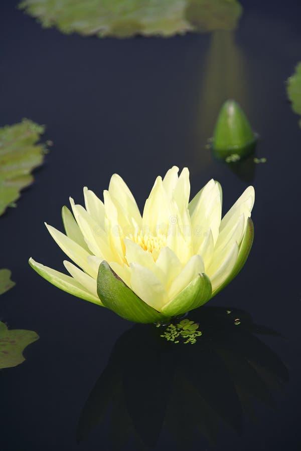 O lírio e de água são reflexão imagens de stock royalty free