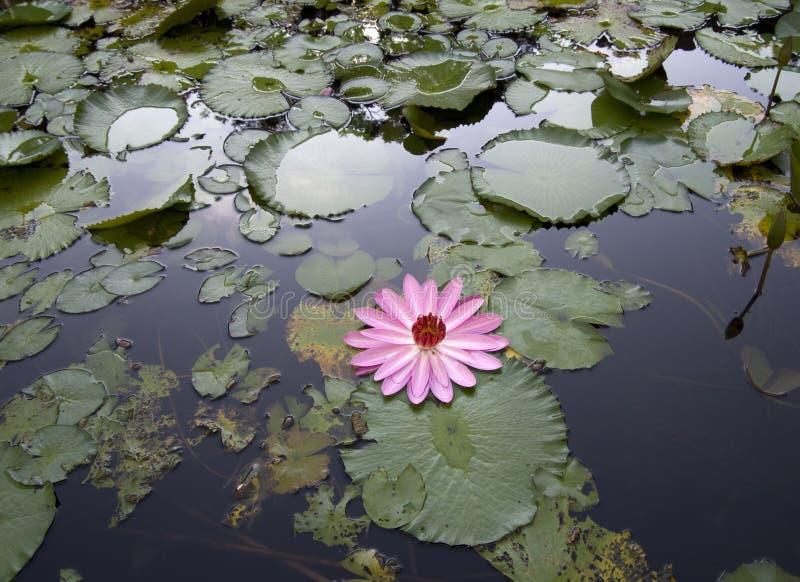 O lírio floresce almofadas na lagoa em Formosa fotografia de stock