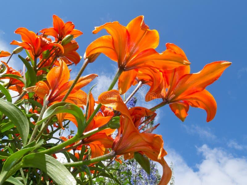 o lírio Vermelho-alaranjado floresce o close-up de encontro ao céu azul fotografia de stock