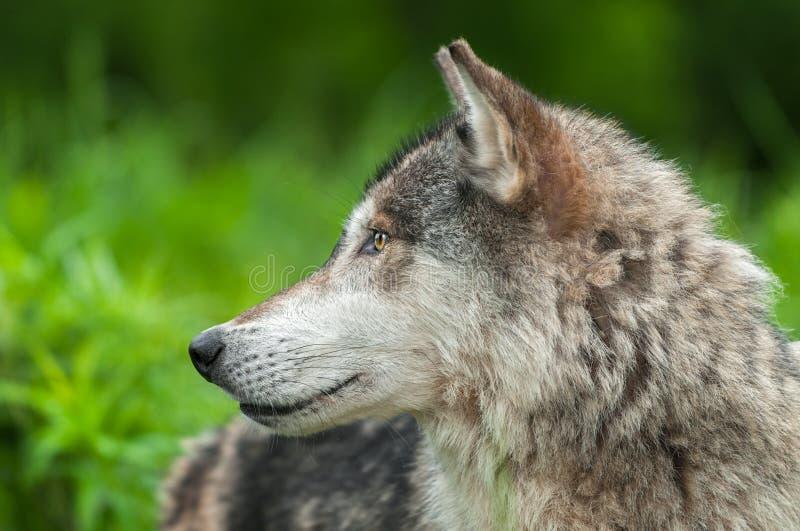 O lúpus de Grey Wolf Canis olha à esquerda imagem de stock royalty free