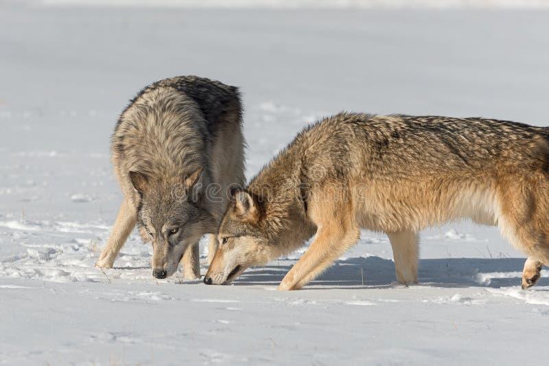 O lúpus de Grey Wolves Canis vem junto as cabeças abaixo do inverno imagens de stock