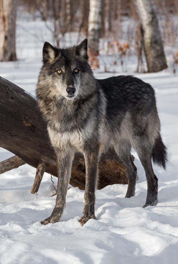 O lúpus preto de Grey Wolf Canis da fase está na frente do log foto de stock