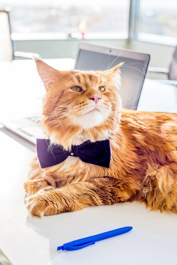 O laço de borboleta vestindo engraçado de Maine Coon Cat que encontra-se na tabela em seu escritório gosta de um chefe imagens de stock