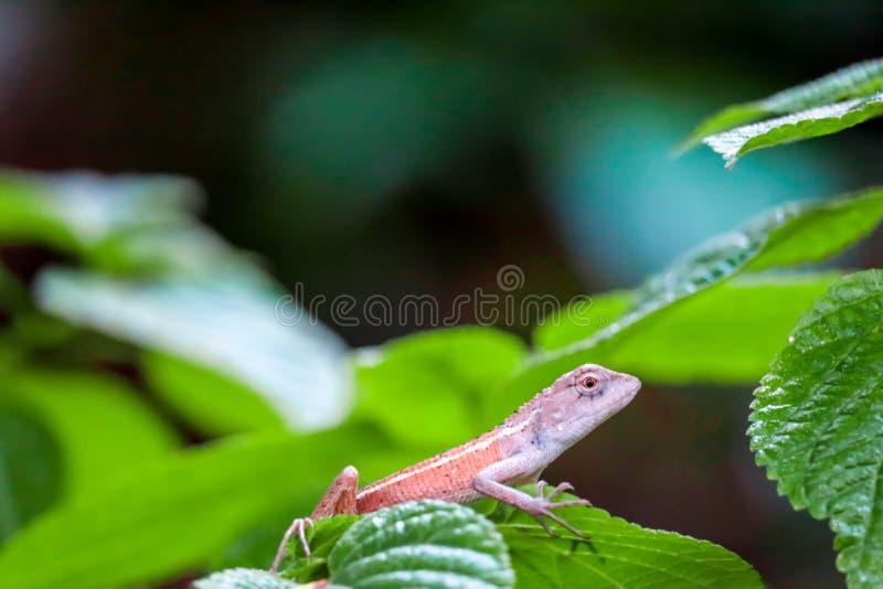 O lagarto é couros crus sob as folhas da planta a escapar dos predadores imagens de stock royalty free