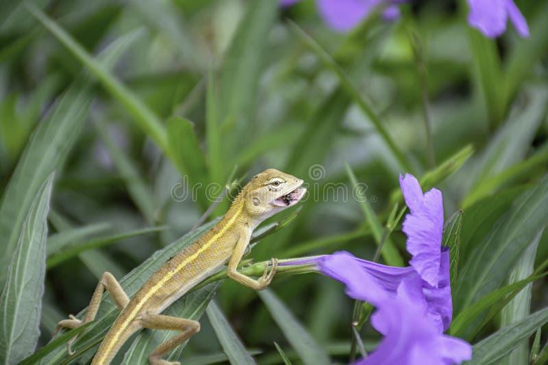 O lagarto atado longo pequeno come insetos na flor ou no squarrosa roxo Fenzi Cufod de Ruellia no jardim imagem de stock
