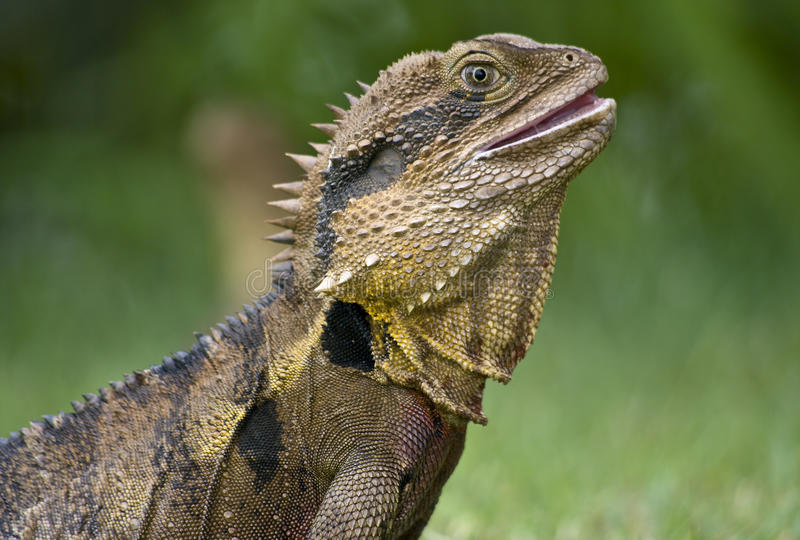 O lagarto australiano. imagens de stock
