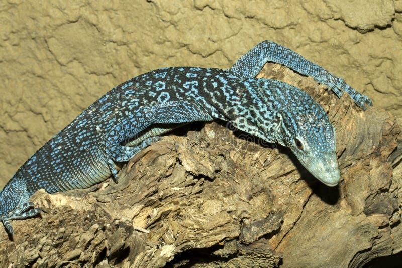 O lagarto azul bonito, azul manchou o macraei do Varanus do monitor da árvore fotos de stock royalty free