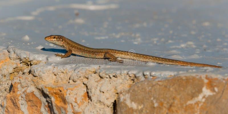 O lagarto da parede de Ibiza que expõe-se ao sol em uma rocha pintada próximo suporta, Ibiza, Balearic Island, Espanha foto de stock royalty free
