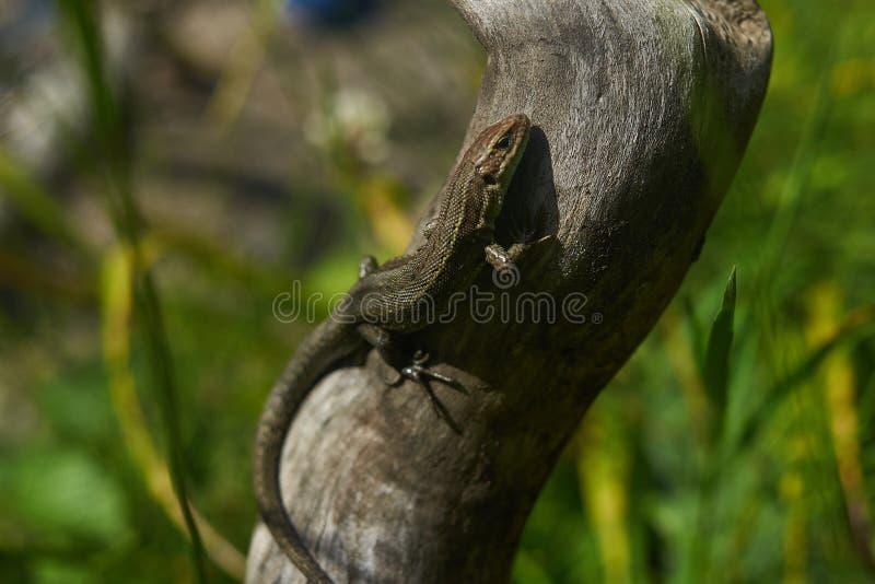 O lagarto de Brown, lagarto de árvore, detalhes de pele do lagarto cola na árvore fotos de stock