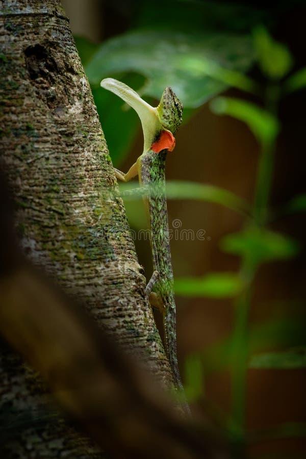 O lagarto de deslizamento barrado - taeniopterus do Draco - Draco é um gênero dos lagartos de agamid que são sabidos igualmente c fotos de stock