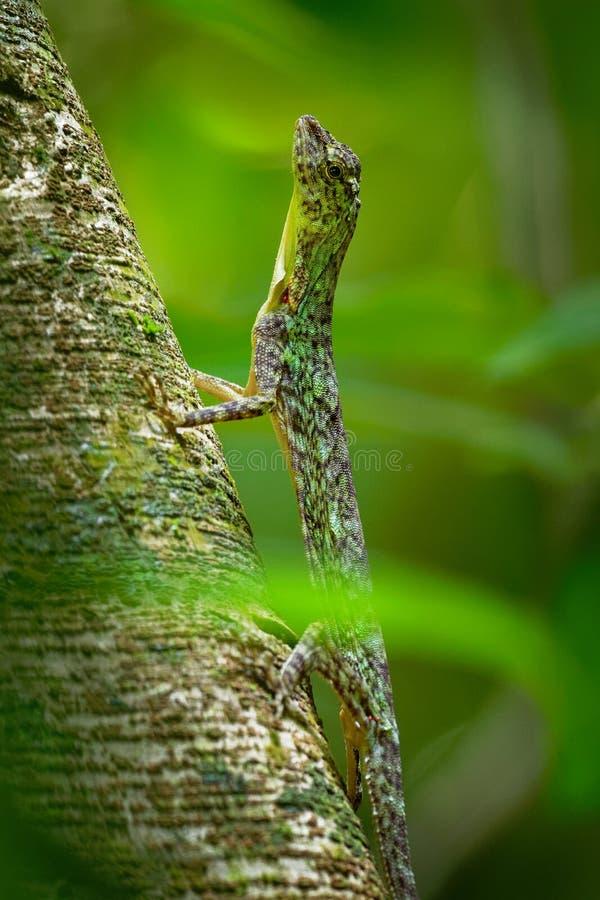 O lagarto de deslizamento barrado - taeniopterus do Draco - Draco é um gênero dos lagartos de agamid que são sabidos igualmente c fotos de stock royalty free
