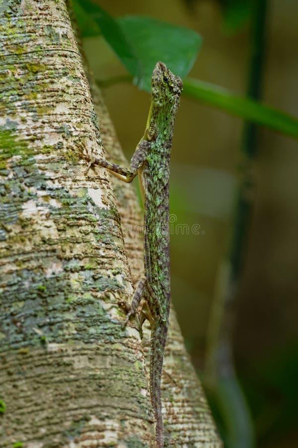 O lagarto de deslizamento barrado - taeniopterus do Draco - Draco é um gênero dos lagartos de agamid que são sabidos igualmente c foto de stock