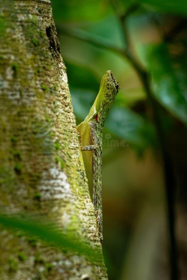 O lagarto de deslizamento barrado - taeniopterus do Draco - Draco é um gênero dos lagartos de agamid que são sabidos igualmente c foto de stock royalty free