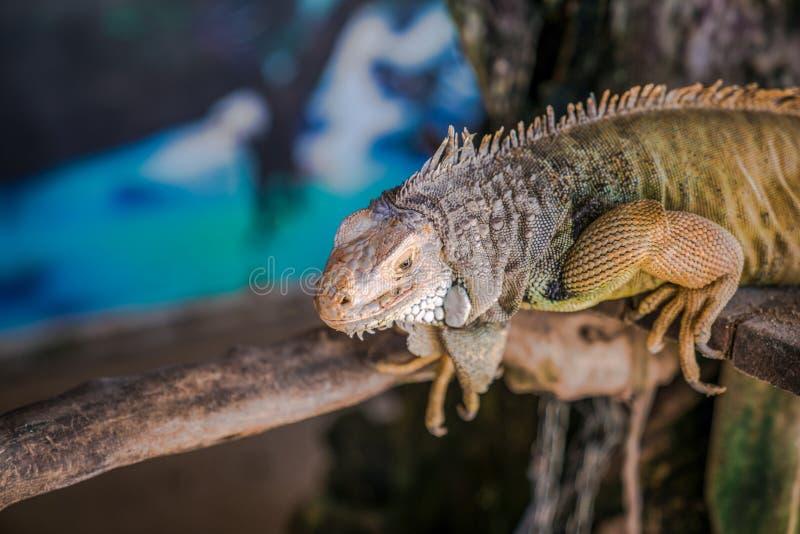 O lagarto em Bali foto de stock royalty free